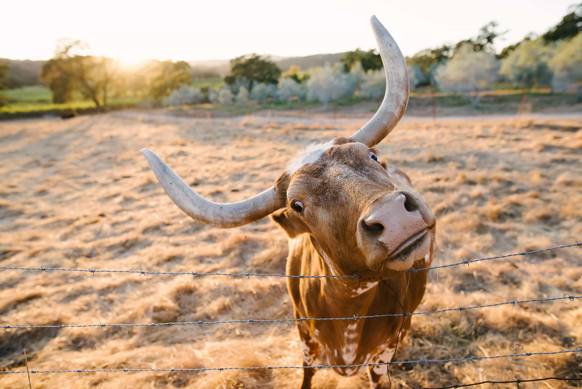 Beltane Ranch Bull